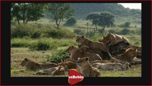 دانلود رایگان مستند سینمایی گربههای آفریقایی