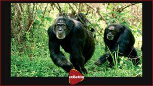 دانلود رایگان مستند سینمایی شامپانزه