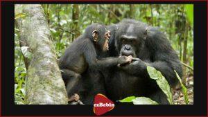 مستند سانسور نشده Chimpanzee 2012